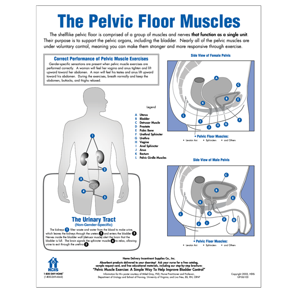 Pelvic Floor Muscles Poster
